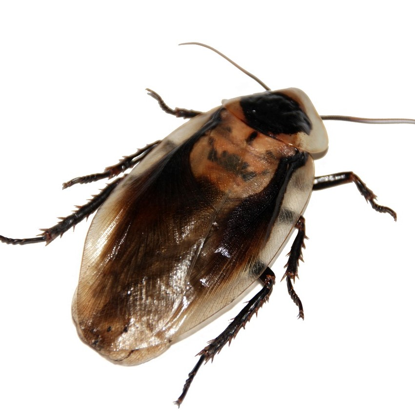 Cockroach pest control in Hackney, East London