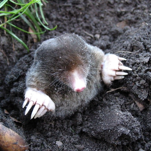 Mole Pest Control in Bromley