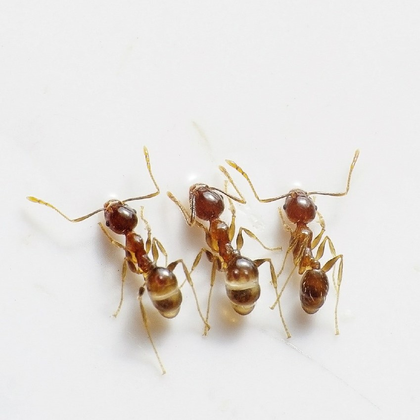 Garden Ant Pest Control in Bromley
