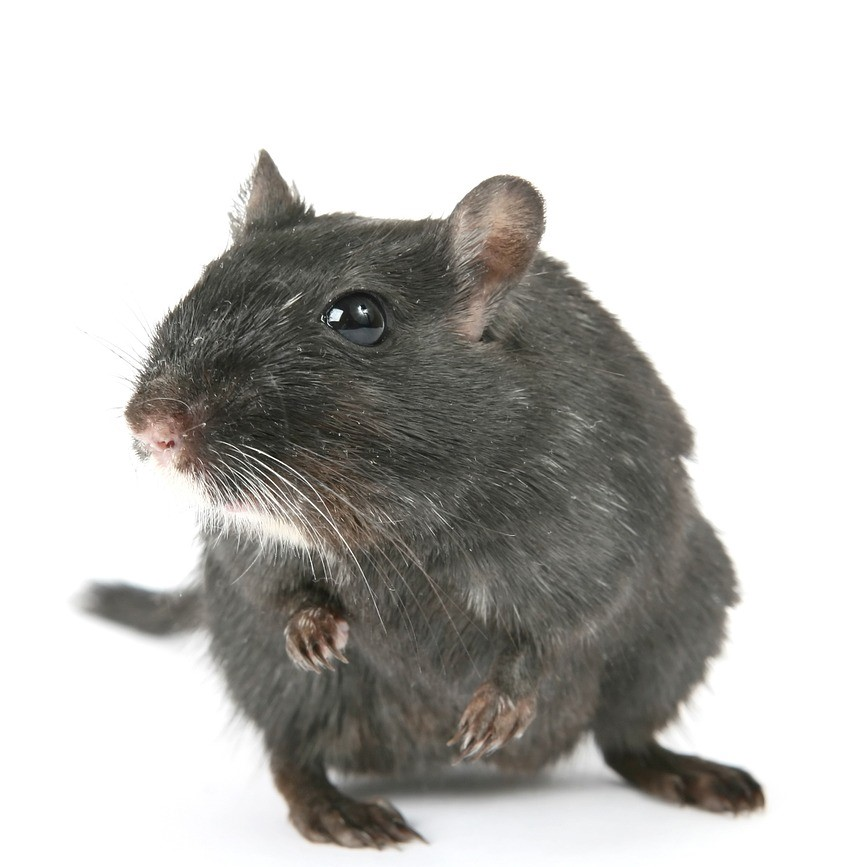 Rodent pest control in Bromley