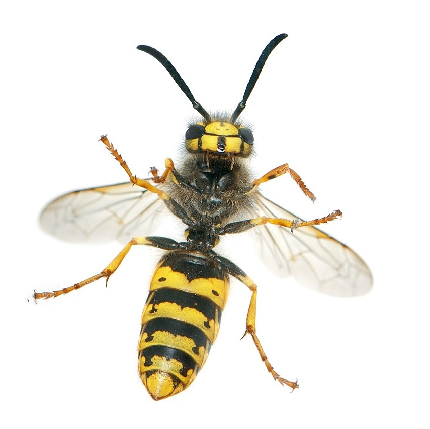 Wasp Nest Removal in Bromley